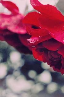红色玫瑰手机壁纸图片