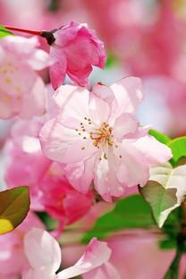 粉红色的花海手机壁纸