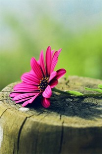 清新花卉手机壁纸