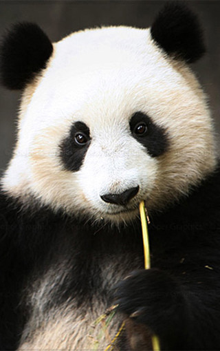 壁纸 大熊猫 动物 320_510 竖版 竖屏 手机