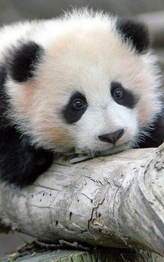 动物壁纸 熊猫壁纸 可爱熊猫手机壁纸   (48/50)